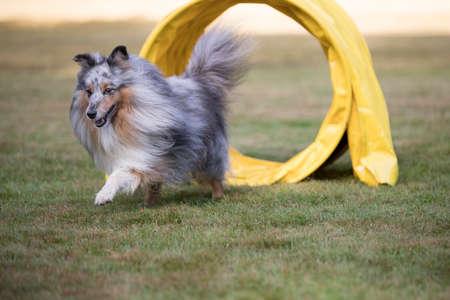 Shetland Sheepdog, Sheltie, in agility competition