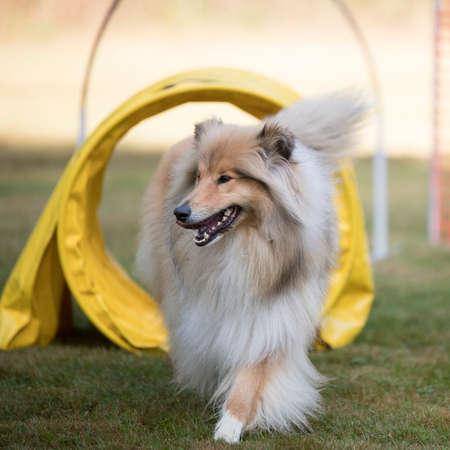 Scottish Collie training agility