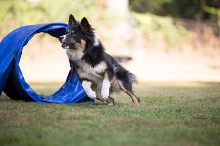 Border Collie running agility