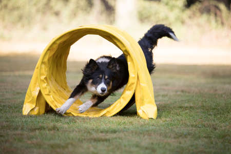 Border Collie running through agility tunnel Stock Photo