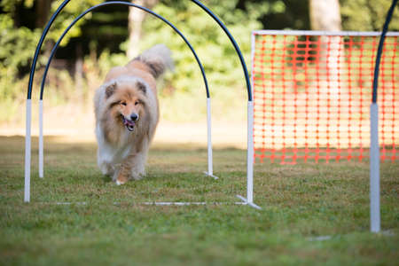 collie: Scottish Collie in hooper competition