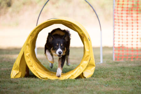 Border Collie training hoopers
