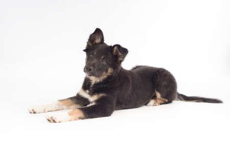Kölyök kutya, Border Collie, fekvő fehér háttér stúdióban