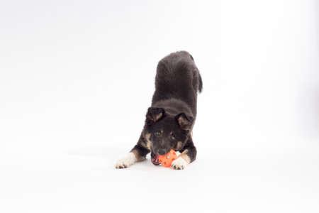 Kölyök kutya, Border Collie, játék labda fehér háttér stúdióban