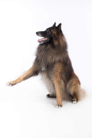 Kutya, belga juhászkutya Tervueren, ülés elülső mancsát akár fehér háttér stúdióban