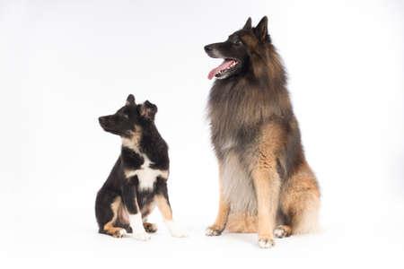 Két kutya, kölyök Border Collie és belga juhászkutya Tervueren, ült fehér háttér stúdióban