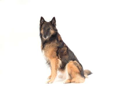 Kutya, belga juhászkutya Tervueren, fehér háttér stúdió