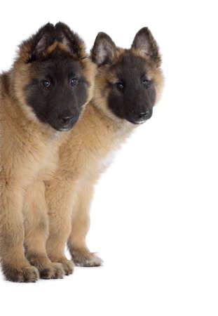 Két kölyök, belga juhászkutya Tervueren, elszigetelt, háttér