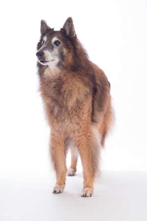Senior kutya, belga juhászkutya Tervueren, fehér háttér stúdióban Stock fotó