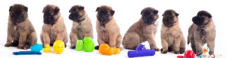 Hét kölykök, belga juhászkutya Tervueren, színes játékok fehér háttér stúdióban