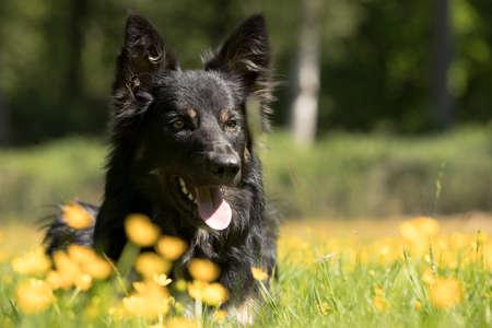Dog, Border Collie, headshot, yellow flowers