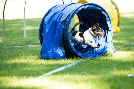 Dog, Jack Russel Terrier, running through agility tunnel, hooper training