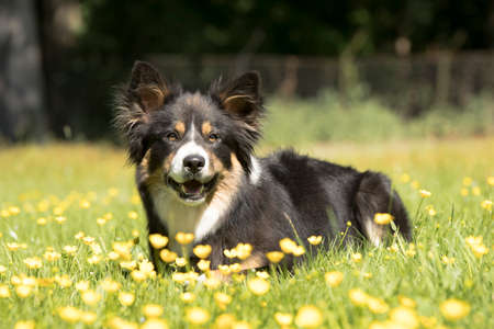 Dog, Border Collie, lying in grass, yellow flowers