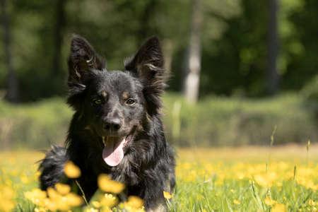 Dog, Border Collie, headshot with yellow flowers Stock fotó