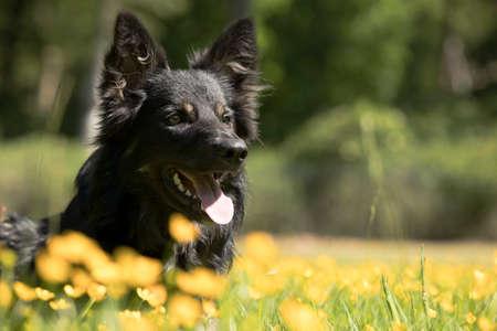 Dog, Border Collie, headshot yellow flowers Stock fotó