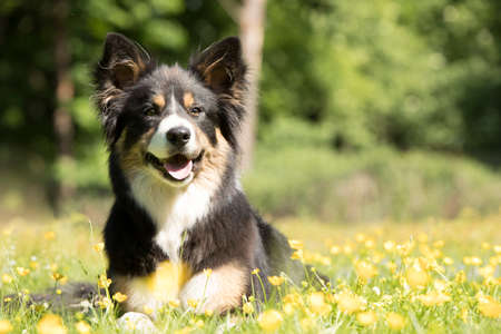 Dog, Border Collie, lying in grass