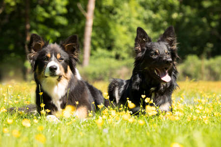 Two dogs, Border Collie, lying in the grass with yellow flowers Stock fotó