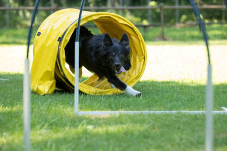 Dog, Border Collie, running through agility tunnel hooper training Stock fotó