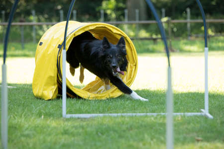 Dog, Border Collie, running through agility tunnel hooper training Stock Photo
