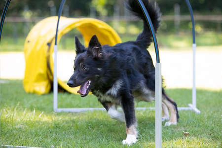 Dog, Border Collie, running through hoopers, agility trianing Stock fotó