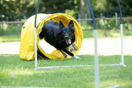 Dog, Border Collie, running through agility tunnel, hooper training Stock fotó