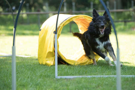 Dog, Border Collie, running agility and hooper training
