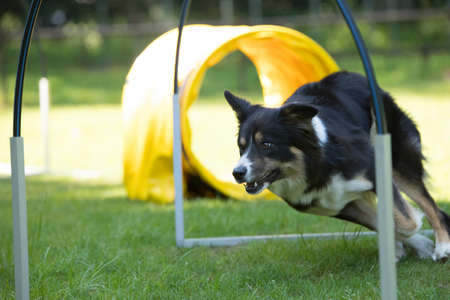 Dog, Border Collie, running agility hooper training Stock fotó