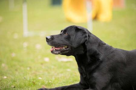 Dog, black Labrador Retriever, lying down