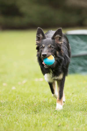 Dog, Border Collie, running with ball Stock fotó