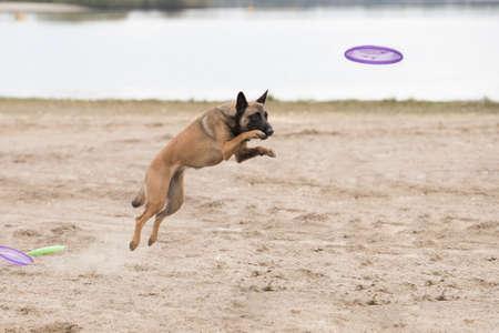 Dog, Belgian Shepherd Malinois, jumping for frisbee in sand Stock fotó