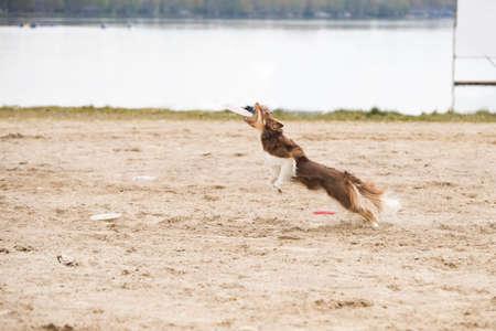 Dog, Border Collie