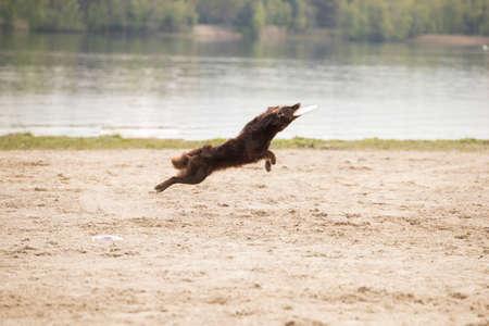 Dog, Australian Shepherd, catching frisbee, sand surface