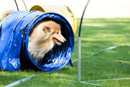 Dog, Scottish Collie, running through agility tunnel, hoopers