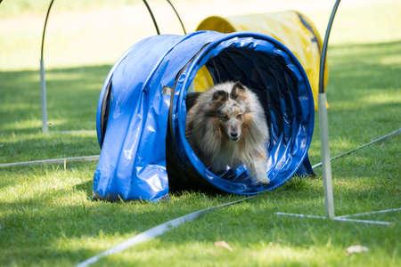 Dog, Shetland Sheepdog, running through agility tunnel, hooper training
