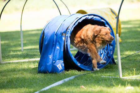 Dog, Nova Scotia duck tolling retriever, running through agility tunnel, hooper training