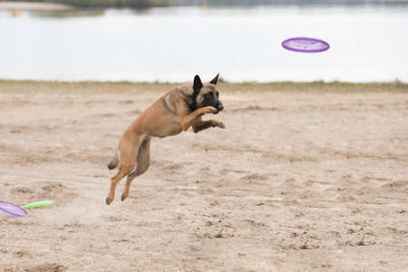 Dog, Belgian Shepherd Malinois, jumping for a disk in sand Stock Photo