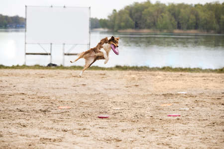 Dog, Border Collie, catching a disk Stock fotó