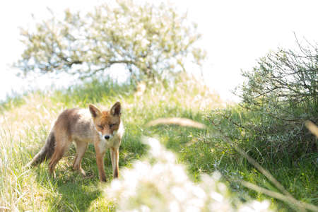 Red fox, standing and looking in camera Stock fotó
