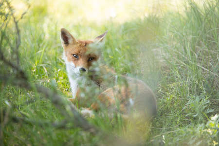 Red fox, looking behind through grass in camera