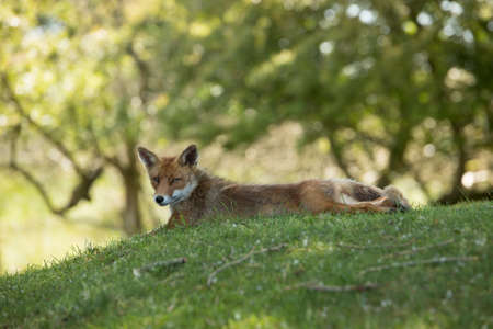 Red Fox, lying stretched in grass, looking in camera Stock fotó