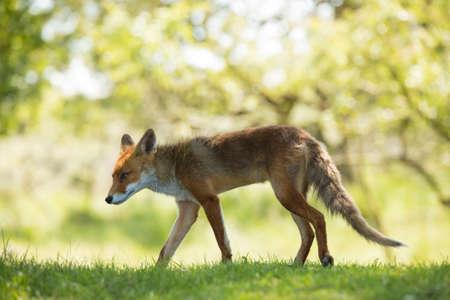 Red fox walking in grass