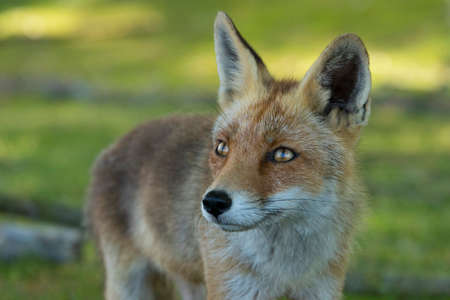 Close-up of a red fox