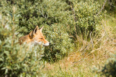Red fox, head coming out of the bushes