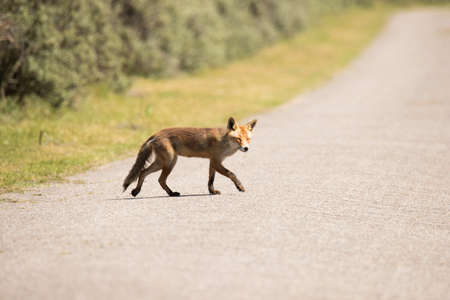 Red fox crossing a road