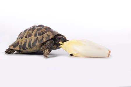 Greek land tortoise, Testudo Hermanni, eating chicory, white studio background Stock fotó