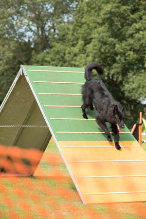 Kutya, belga juhász Groenendael, lefelé agility a-frame Stock fotó