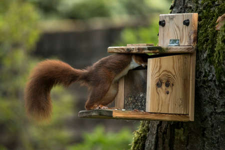 Red squirrel taking food from food dispenser Stock Photo