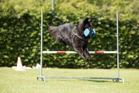Kutya, belga juhász Groenendael, engedelmesség ugrás súlyzókkal Stock fotó