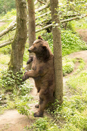 Grizzly bear scratching back to tree