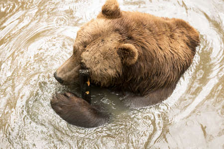 Grizzly bear in water, shot from above